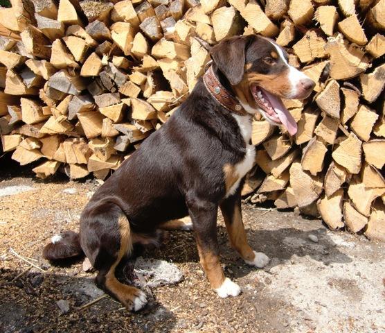 Vom Gut Maschwitz - Berner Sennenhund havanna braun